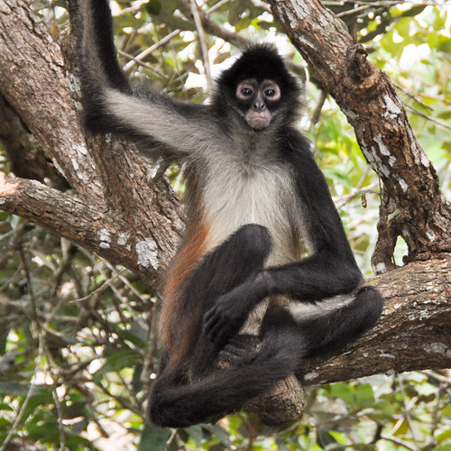 Spider Monkey Southern Costa Rica Wildlife