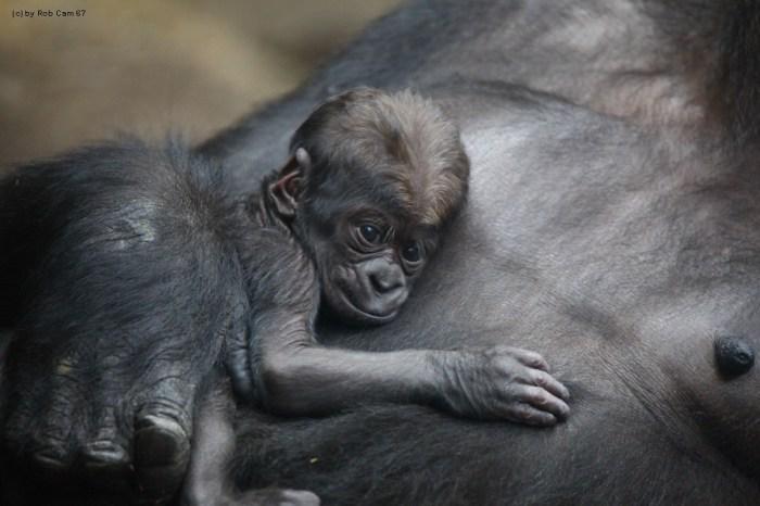 Gorilla Quembo