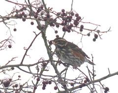 Bird in Hawthorn Tree by bramblejungle on Flickr