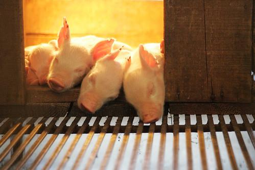 Min piglets in Beijing