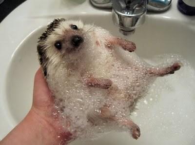 hedgehog-bath