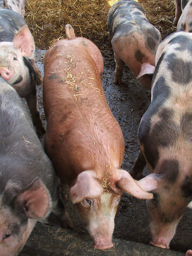 Mixed Breed Pigs