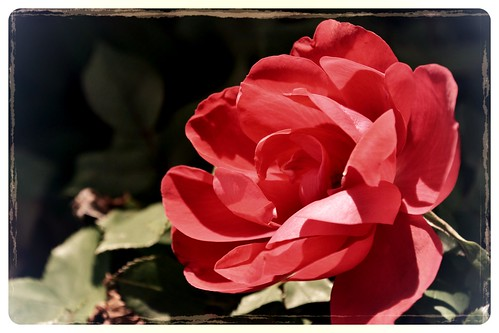 First Rose of the Season by Luke A. Bunker