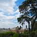 Cedar of Lebanon at Hestercombe