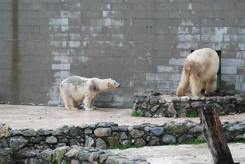 Eisbären Rocky und Qannik in der Monde Sauvage Safari in Aywaille
