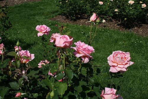 Delightful pink roses
