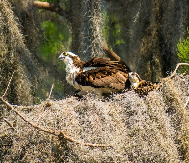 Osprey nest (with adult and chick)