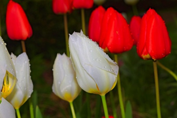 Tulipes entre deux averses