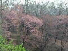 西の里/森のゆからの桜