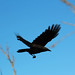 Raven Flight 2