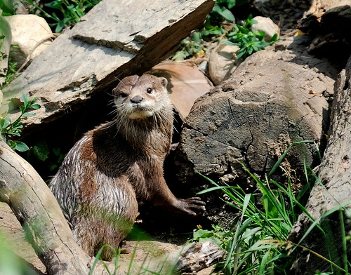 an alert-looking Short Clawed Otter stands amid logs and greenery. Its head is cocked around to look at the camera.
