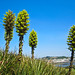Puya chilensis