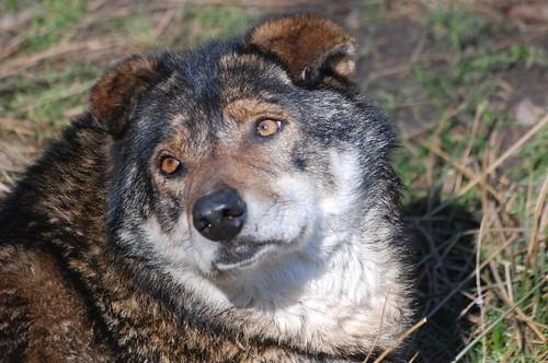 Wölfin Kira im Wolfs- und Bärenwald des Zoos in der Wingst