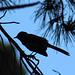 Bird Silouette