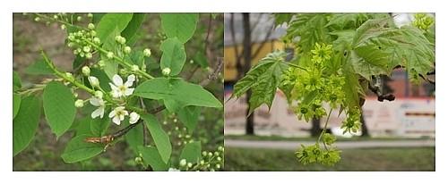 Tuomen ja vaahteran kukkia Seminaarinmäellä Yläkaupunginyössä.