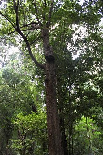 20130115_7118_ironwood-tree_Vga