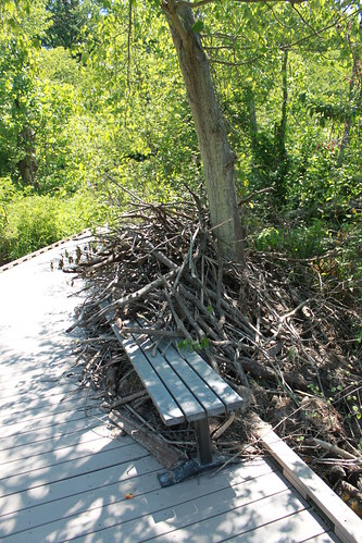 Huntley Meadows Park - Beaver Handiwork
