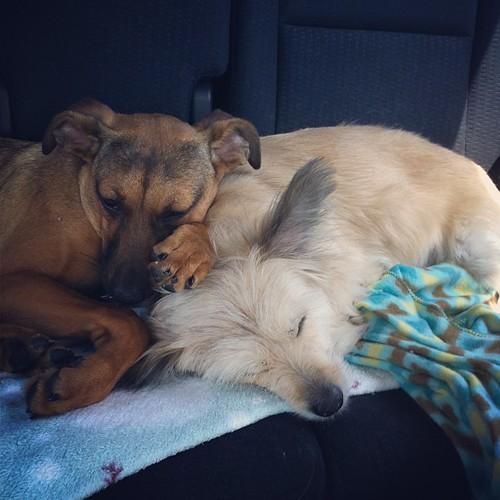 Passed out. #dog #doglove #sleepypup #Sleepingdogs #lovedogs #sumner
