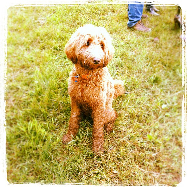 June 8 - animal {Ginger the labradoodle} #fmsphotoaday #animal #dog