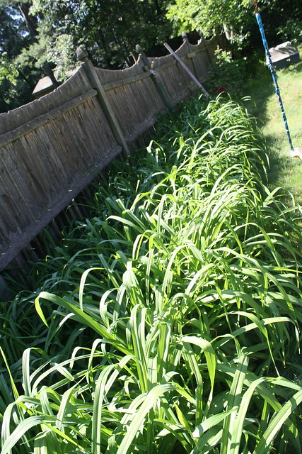 A swarm of daylily plants