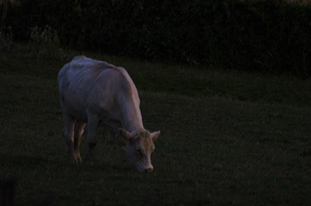 vache-soir-seule