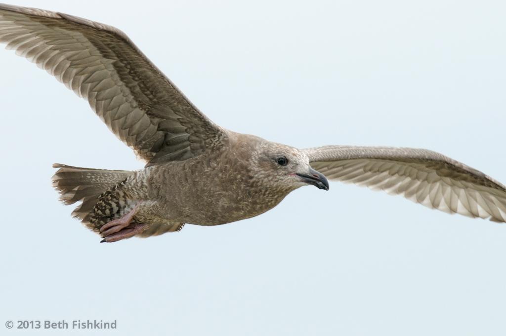 Herring Gull (Larus argentatus), juvenile