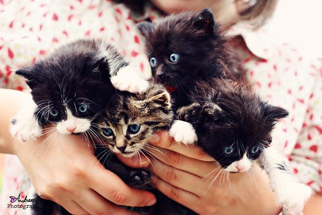 Four blue eyed kitties