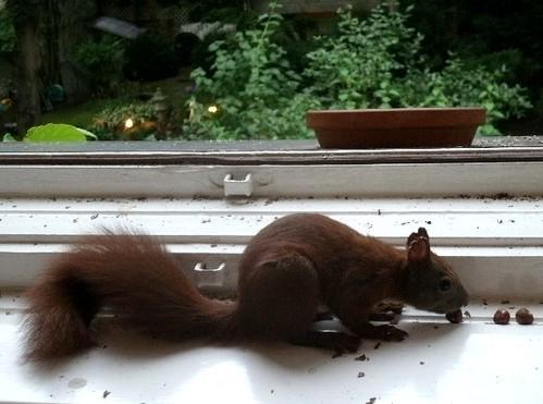 Eichhörnchen kommt näher