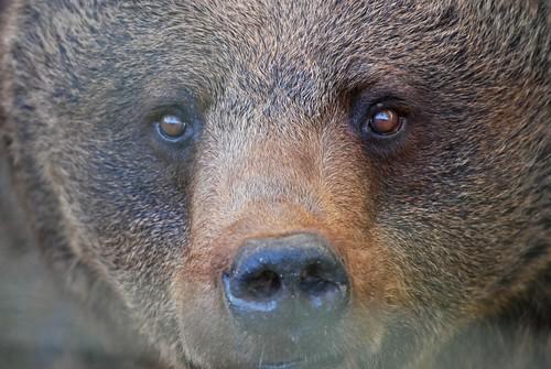 Braunbär im Wolfs- und Bärenwald des Zoos in der Wingst