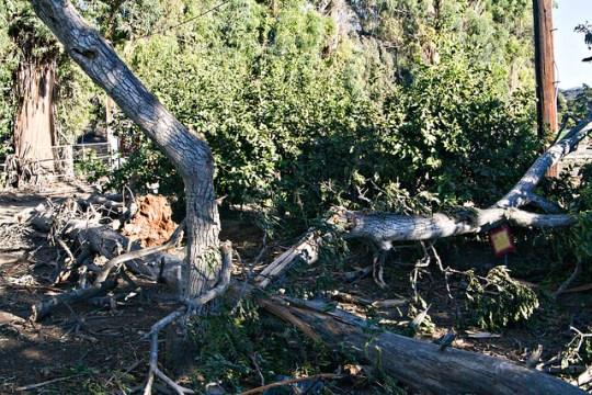 one fallen tree split another tree
