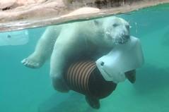 Eisbär Milak im Zoo Aalborg
