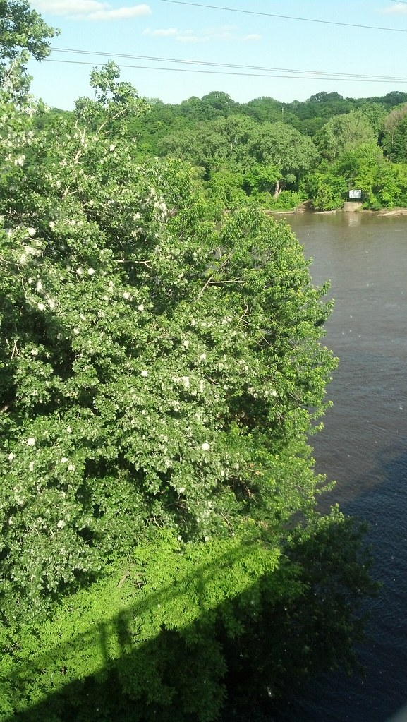 cottonwood trees on the mississippi