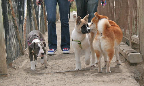 9 April 2012: Bowdu is the same size as a 15-week-old American Akita
