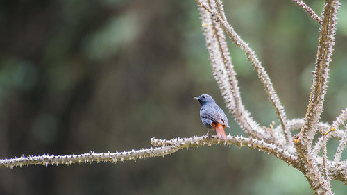 Plumbeous Water Redstart (male)