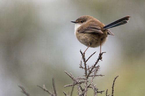 Superb Fairy-wren (re-processed) 2012-04-25 (_MG_6781)