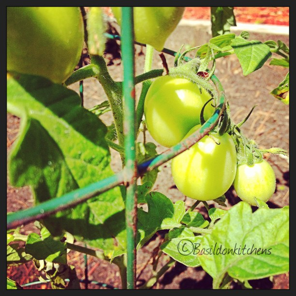 July 21 - crop {these will soon be my crop of tomatoes!} #photoaday #crop #princeedwardcounty  #tomatoes #garden #green