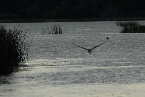 Great Blue Heron- taking flight