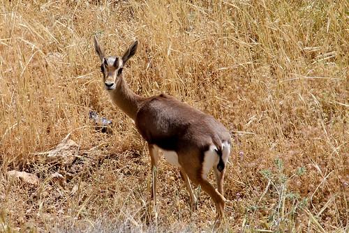 Young gazelle buck