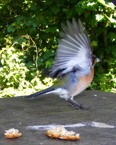 Caught mid-flight by Calum Hall Tobermory