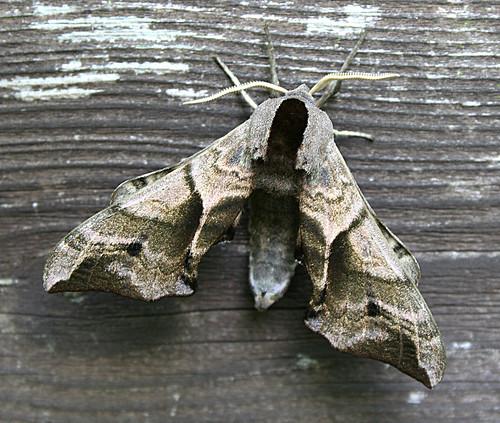 Eyed Hawk-moth Smerinthus ocellata Tophill Low NR, East Yorkshire June 2013