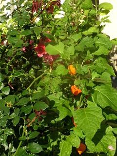 Rose und Lampionblume
