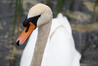 Swan portrait original