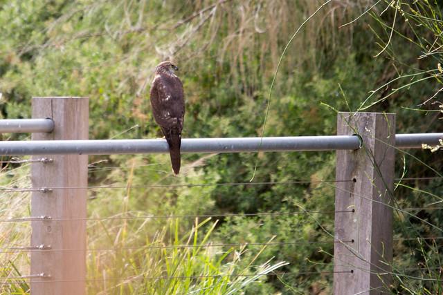 Brown Falcon 2012-04-08 (_MG_6392)