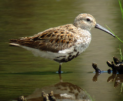 Dunlin in Hanover Township, NJ, May 13, 2012
