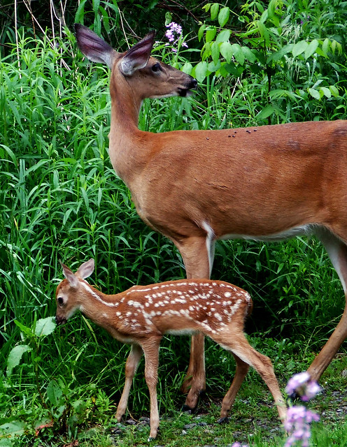 mother deer and fawn 4
