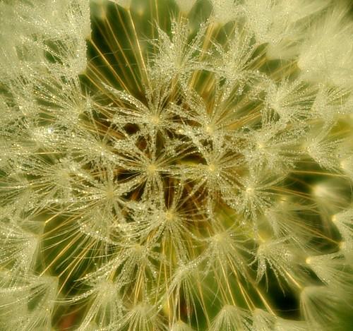 20130519-03_Dandelion Seed Head by gary.hadden