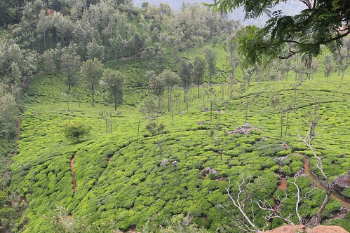 Sholas and tea gardens