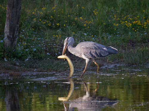Grey Heron with Eel