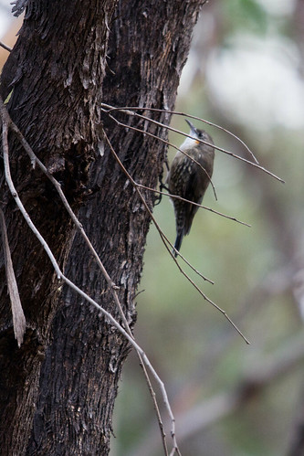 White-throated Treecreeper 2012-04-09 (_MG_6423)