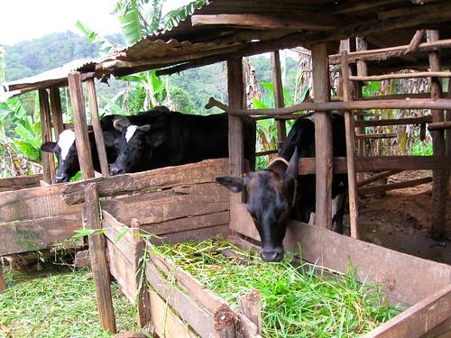 Dairy cattle in Amani, Tanzania